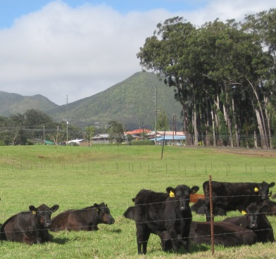 black cows with yellow tags