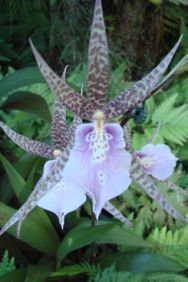 pointy purple orchid