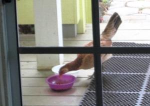 Henrietta eats out of cat's bowl