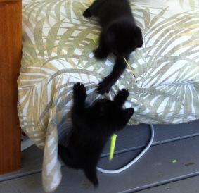 kitties playing 091