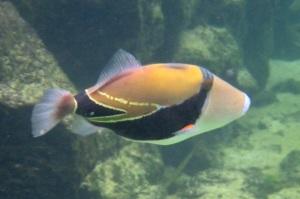 The state fish, the humuhumunukunukuapua'a