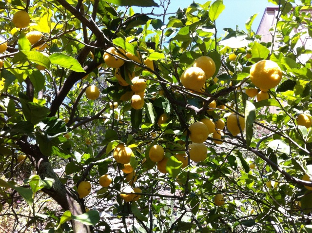 in the Lemon Garden of the Lemon BnB ; Riomaggiore