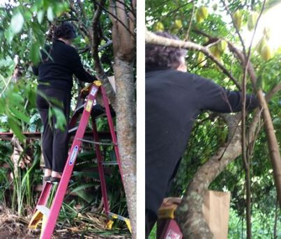 ladder needed to pick starfruit