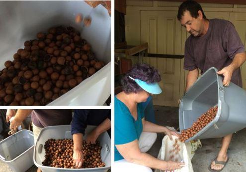 sorting dehusked nuts