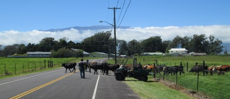 paniolo guiding cattle across the road