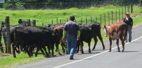paniolo on foot, guiding cattle across the road