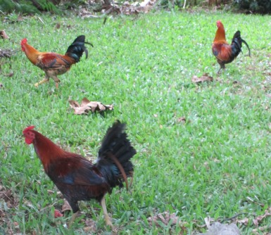 our yard is full of roosters