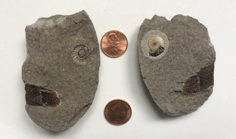 concretion containing ammonite and fossil wood