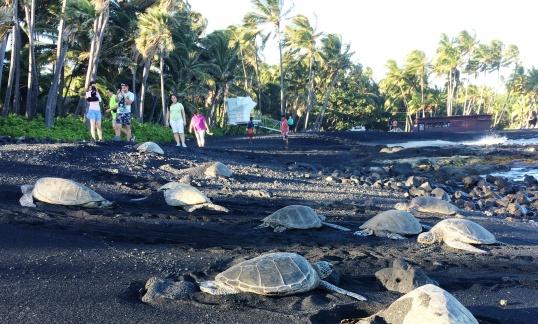 sea turtles basking in the waning sun