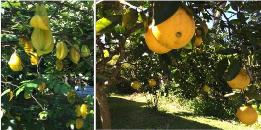 fall-crop-of-starfruit-and-oranges