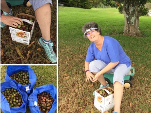 harvesting-macadamia-nuts